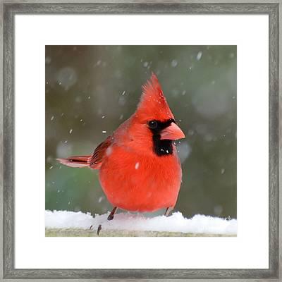Snowflake Cardinal Framed Print by Kerri Farley