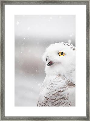 Snowie In The Snow Framed Print by Carrie Ann Grippo-Pike