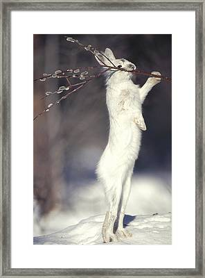 Snowshoe Hare Feeding On Pussy Willow Framed Print by Michael Quinton