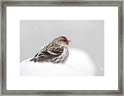 Snowy Common Redpoll Framed Print by Christina Rollo