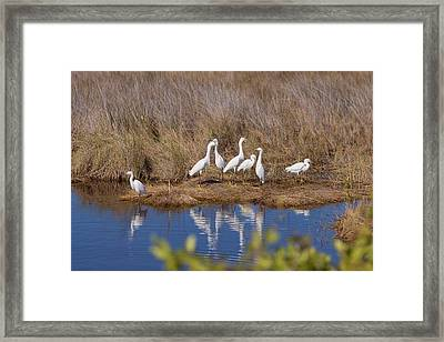 Snowy Egret Convention Framed Print by John Bailey