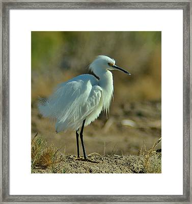 Snowy Egret Displaying Framed Print by Sara Edens