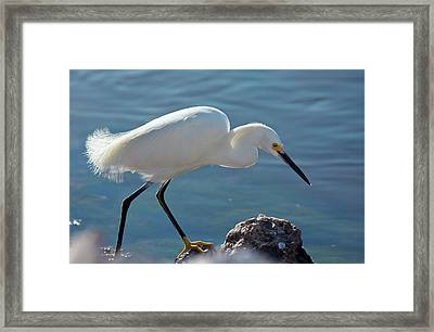 Snowy Egret Feeding Framed Print by Bob Gibbons