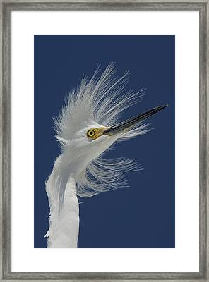 Snowy Egret In Breeding Plumage Florida Framed Print by Malcolm Schuyl