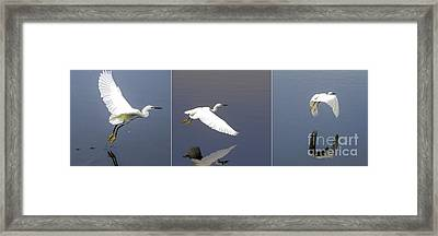 Snowy Egret In Flight Triptych Framed Print by Zina Stromberg