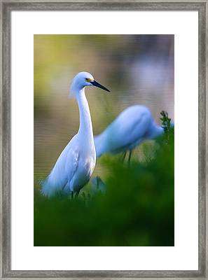 Snowy Egret On A Lush Green Foreground Framed Print by Andres Leon