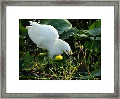 Snowy Egret On The Hunt Framed Print by Pat Neely Stewart
