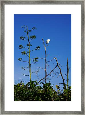 Snowy Egret On Yucca Perch Framed Print by John Myers