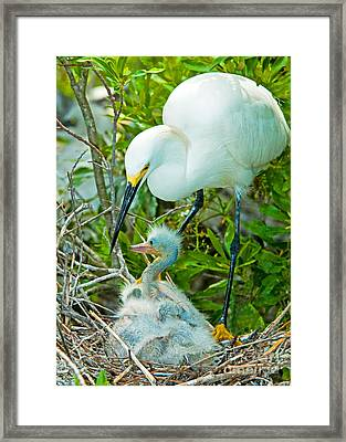 Snowy Egret Tending Young Framed Print by Millard H. Sharp