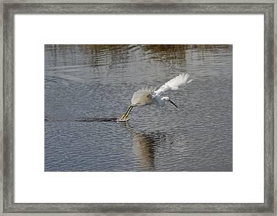 Snowy Egret Wind Sailing Framed Print by John Bailey