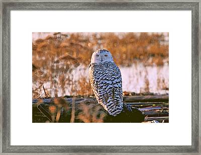 Snowy Owl Catching Some Winks Framed Print by Peggy Collins