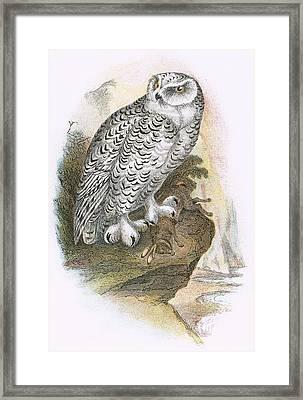 Snowy Owl Framed Print by English School
