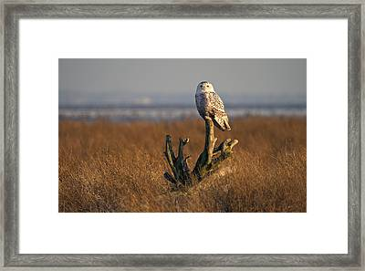 Snowy Owl In Boundary Bay B.c Framed Print by Pierre Leclerc Photography