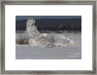 Snowy Owl In Flight Framed Print by Mircea Costina Photography