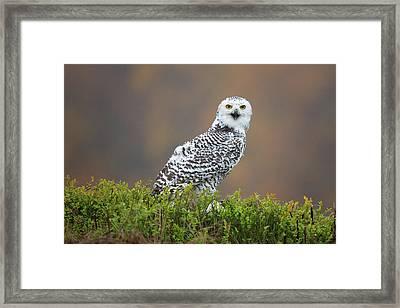 Snowy Owl Framed Print by Milan Zygmunt