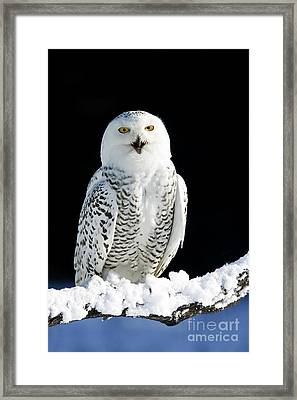 Snowy Owl On A Twilight Winter Night Framed Print by Inspired Nature Photography Fine Art Photography