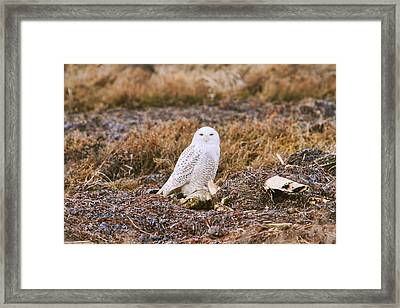 Snowy Owl Framed Print by Peggy Collins