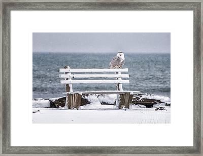 Snowy Owl Rye N H Framed Print by Scott Thorp