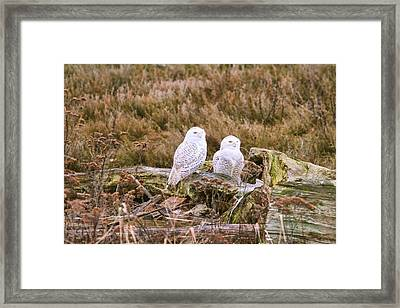 Snowy Owls At Boundary Bay Framed Print by Peggy Collins