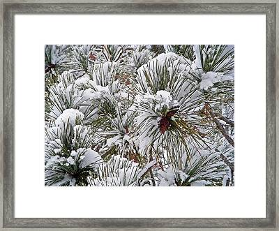 Snowy Pine Needles Framed Print by Aimee L Maher Photography and Art Visit ALMGallerydotcom