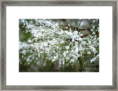 Snowy Pine Needles Framed Print by Elena Elisseeva