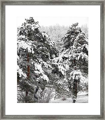 Snowy Pines Framed Print by Kathleen Struckle