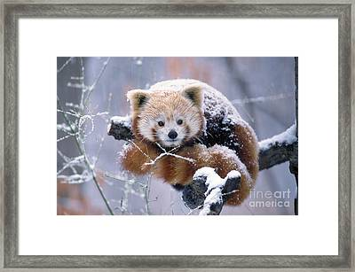 Snowy Red Or Lesser Panda Framed Print by Aaron Ferster
