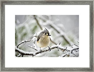 Snowy Tufted Titmouse Framed Print by Christina Rollo