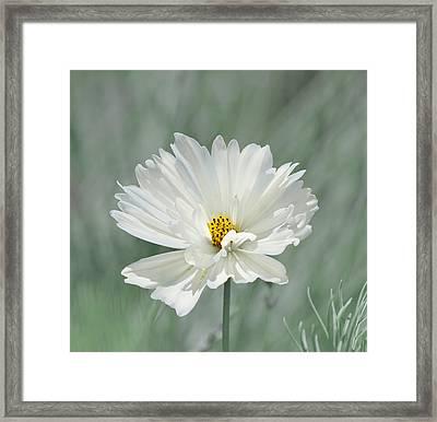 Snowy White Cosmos Framed Print by Kim Hojnacki