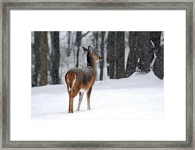 Snowy White-tail Framed Print by Christina Rollo