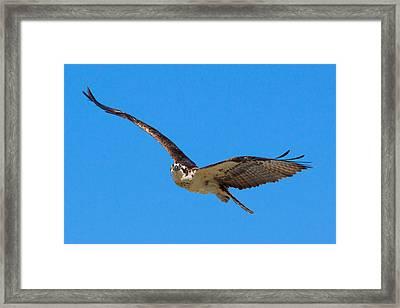 Soaring Osprey Framed Print by Adam Pender