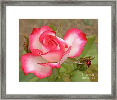 Soft As A Rose Framed Print by Kaye Menner