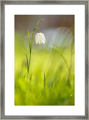 Soft Awakenings - White Chess Flower Framed Print by Roeselien Raimond
