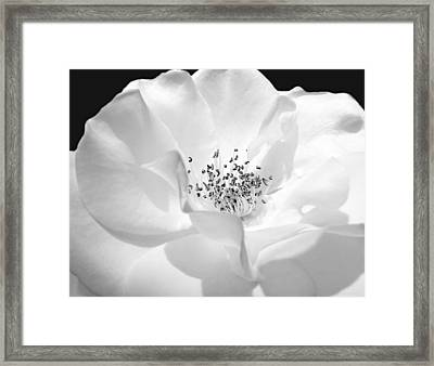 Soft Petal Rose In Black And White Framed Print by Jennie Marie Schell
