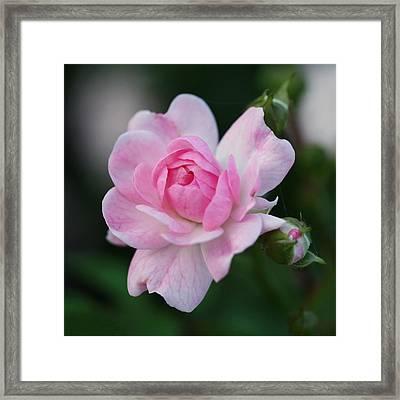 Soft Pink Miniature Rose Framed Print by Rona Black