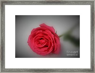 Soft Red Rose Framed Print by Yumi Johnson