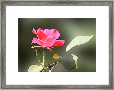 Soft Tender Old Fashioned Rose Framed Print by Linda Phelps