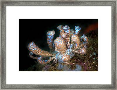 Solar-powered Nudibranch Framed Print by Ethan Daniels
