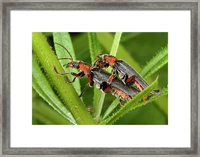 Soldier Beetles Mating Framed Print by Nigel Downer