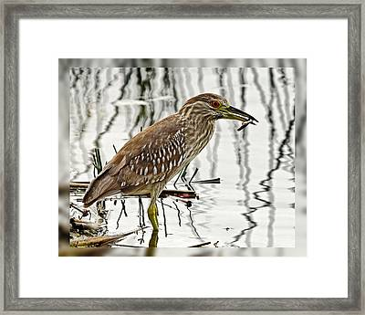 Solitary Juvenile Framed Print by Dawn Currie