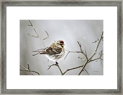 Solitary Redpoll Framed Print by Christina Rollo