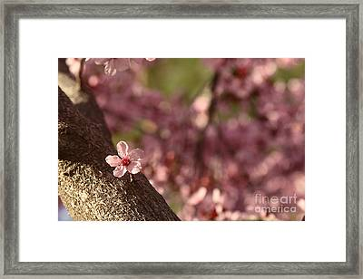 Solo In The Blossom Chorus Framed Print by Jennifer Apffel