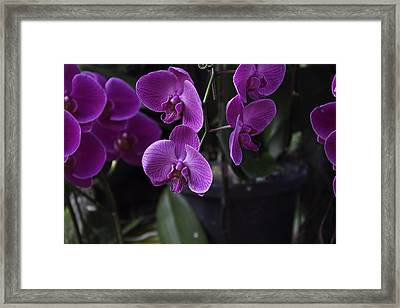 Some Very Beautiful Purple Colored Orchid Flowers Inside The Jurong Bird Park Framed Print by Ashish Agarwal