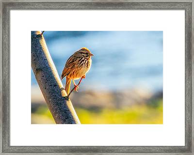 Song Sparrow Framed Print by Bob Orsillo