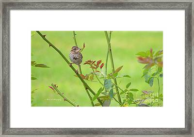 Song Sparrow Framed Print by Rima Biswas