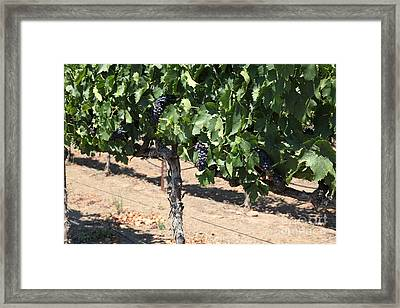 Sonoma Vineyards In August In The Sonoma California Wine Country 5d24487 Framed Print by Wingsdomain Art and Photography