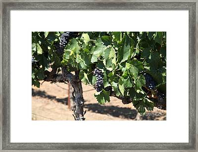 Sonoma Vineyards In The Sonoma California Wine Country 5d24488 Framed Print by Wingsdomain Art and Photography