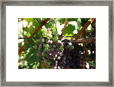 Sonoma Vineyards In The Sonoma California Wine Country 5d24578 Framed Print by Wingsdomain Art and Photography