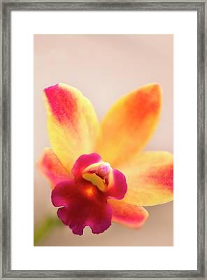 Sophrolaeliocattleya Orchid Framed Print by Maria Mosolova