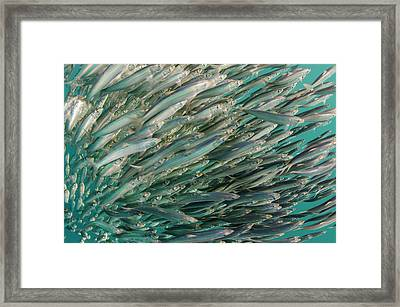 South African Sardine (sardinops Sagax Framed Print by Pete Oxford